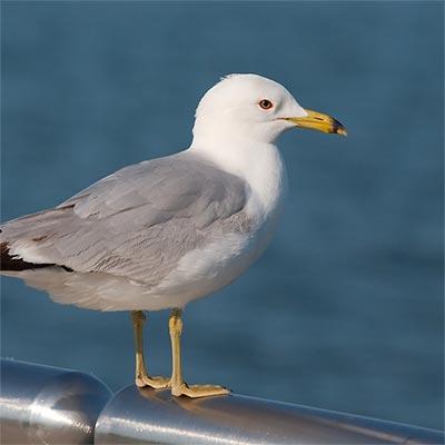 Bird Species Information Uk Amp Intl No More Birds